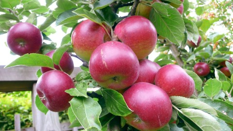 apple-tree-15094-15758-hd-wallpapers